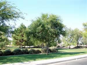 Chinese Evergreen Elm Tree Arizona