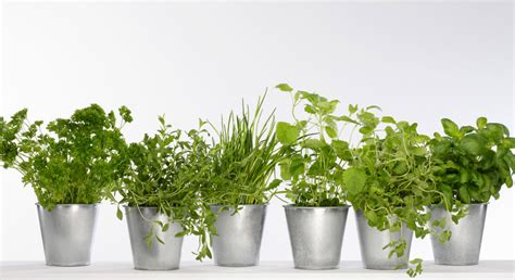 plante aromatique cuisine mon mini jardin de plantes aromatiques prima