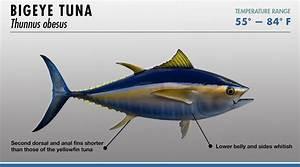 Tuna Identifier | FISHTRACK.COM