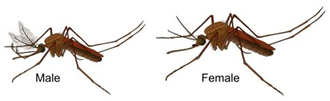 Entomology How Do You Identify A Mosquitos Sex Without