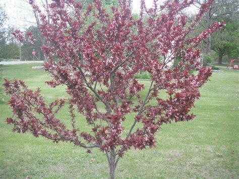 cherry tree with purple leaves purple leaf sand cherry prunus x cistena trees pinterest prunus seeds and plants