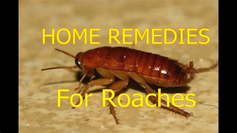 home remedies  roaches  house  roaches