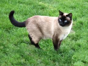 pictures of siamese cats siamese cats cats