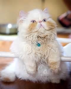 Fat Persian Cats
