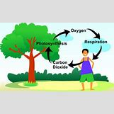 Oxygen And Carbon Dioxide Cycle Simple | 520 x 312 jpeg 34kB