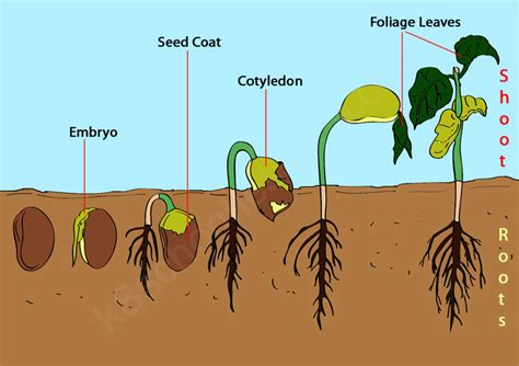 seed germination quiz science lessons  kids science