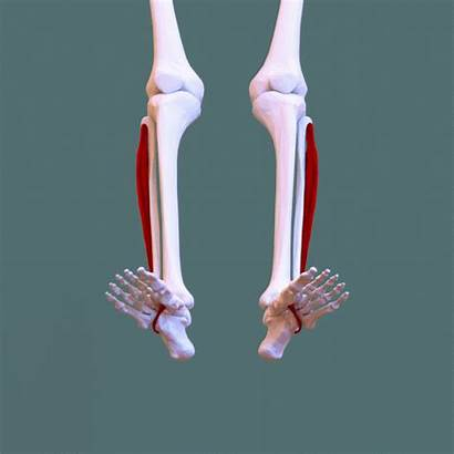 Longus Peroneus Fibularis Muscle Wikipedia Inferior Animation