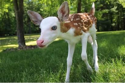 Fawn Faced Deer Rarest Mother Piebald Rare