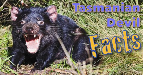 tasmanian devil facts  kids information images video