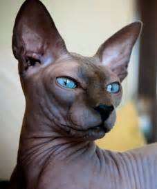 sphynx cats sphynx cat the hairless lovable and adorable feline i