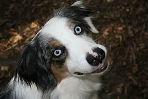 puppy, australian shepherd, blue eyes | My Photography ...