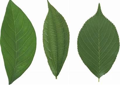 Leaf Leaves Freepngimg Hq