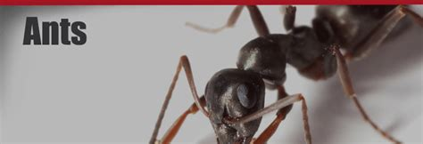 ant service ant control services by knockout pest control termite for san diego