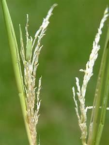 Louisiana Rice