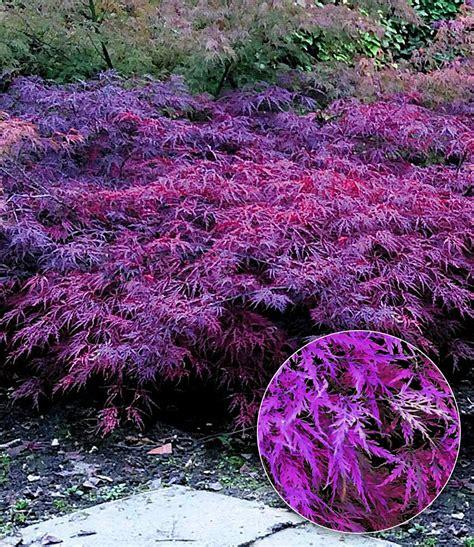 Japanischer Garten Ahorn by Japanischer Ahorn Seiryu 1a Qualit 228 T Baldur Garten