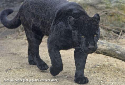 leopardo fotos caracteristicas  diferencias  el