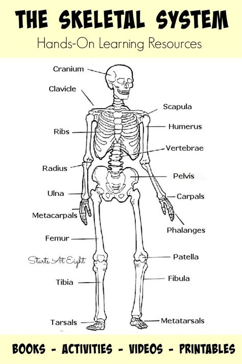 the skeletal system on learning resources human