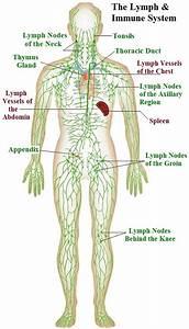Diagrams Of Lymph Nodes