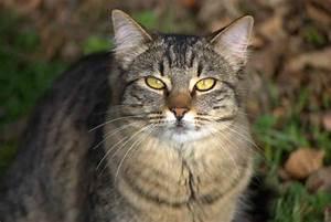 Beautiful Brown Tabby Cat Photo - Brian Humek Photography