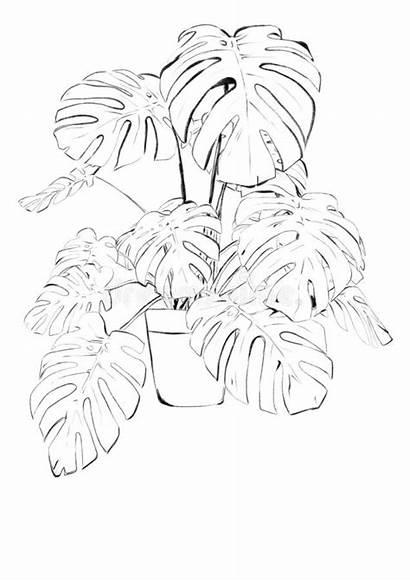 Monstera Sketch Nero Bianco Piante Deliciosa Pareti
