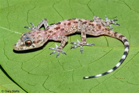 house gecko mediterranean house gecko hemidactylus turcicus