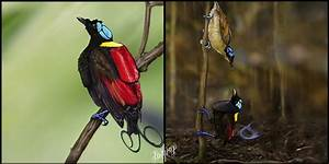 Wilson's Bird Of Paradise by pop-ipop on DeviantArt