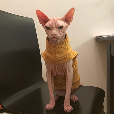 meet loki  worlds grumpiest sphynx cat