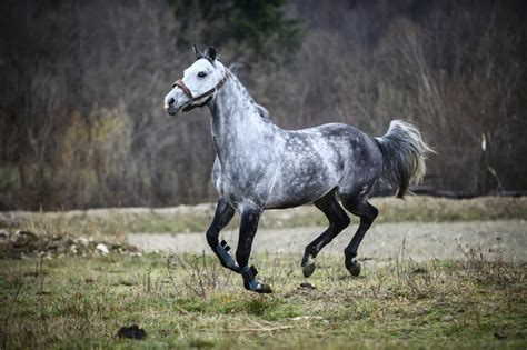 horse glue horses gray running into turned why killed