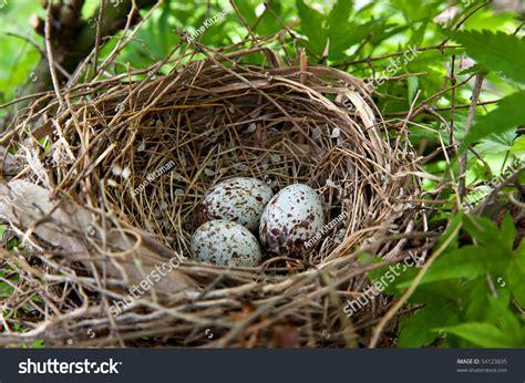 nest filled three cardinal bird eggs stock photo 54123835