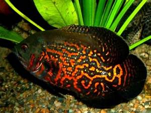Freshwater Tropical Fish Species - The Animal Life