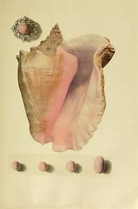 U201cshell And Pearls Of The Common Conch U201d From The Book Of
