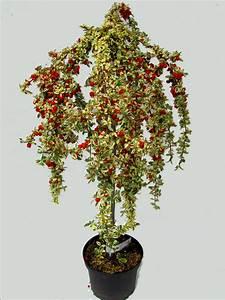 Sträucher Online Kaufen : cotoneaster 39 juliette 39 pflanzenversand k belpflanzen steingarten heidegarten kaufen ~ Buech-reservation.com Haus und Dekorationen