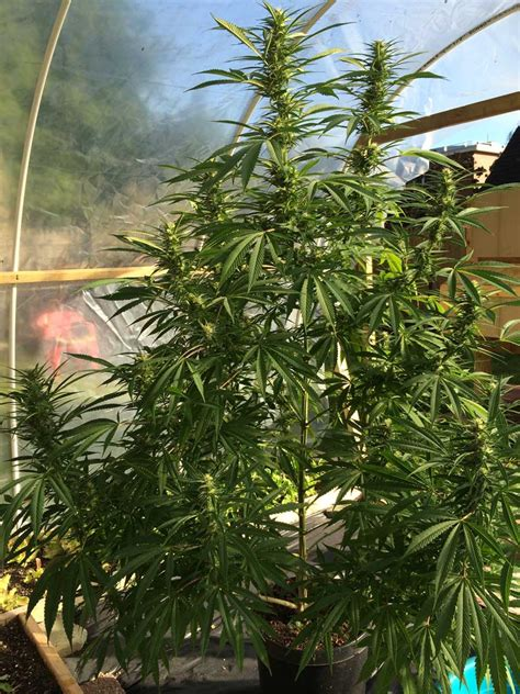 light deprivation light dep technique grow weed easy