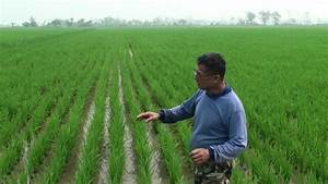Azolla Duck Rice Farming@ แม่สาย เชียงราย7 - YouTube
