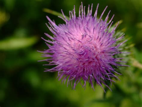thistle pictures pics images    inspiration