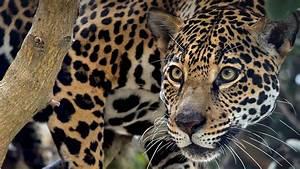jaguar - 100 More Photos