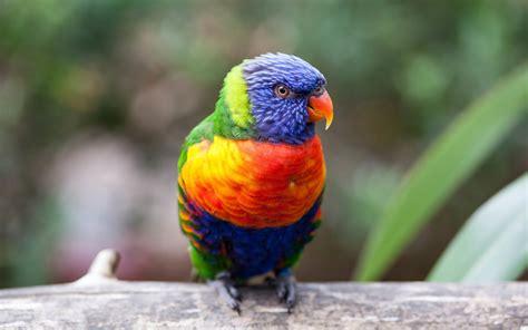 wallpaper parrot rainbow lorikeet   animals