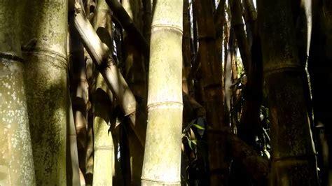 Bambu Gigante Bambu Balde Youtube