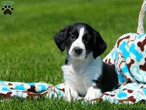 springer spaniel mix puppies for sale greenfield