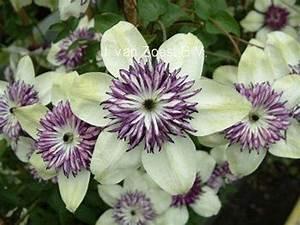 Clematis Immergrün Winterhart : clematis florida 39 sieboldii 39 florida ~ Markanthonyermac.com Haus und Dekorationen