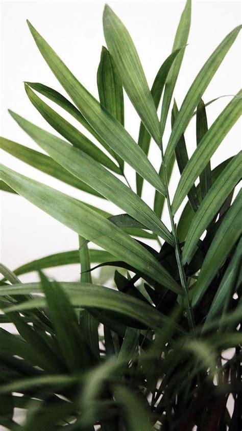 Palmen Für Innen by Die Besten 25 Zimmerpflanze Palme Ideen Auf