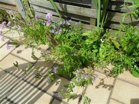 ist das auf dem foto eine ambrosia pflanze garten