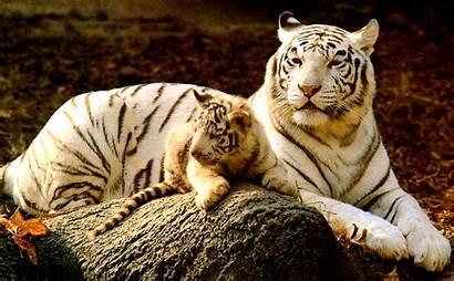 Tiger Desktop Wallpapers Amazing