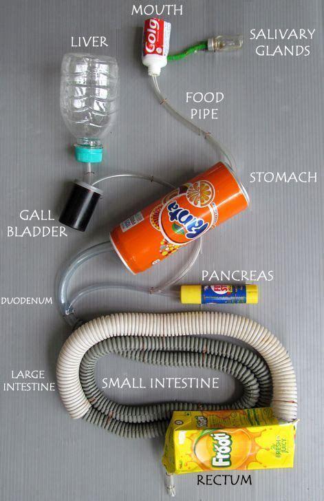 ap  digestive system project digestive system model