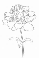 Peony Coloring sketch template