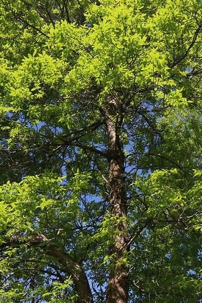 Ash Trees Trimming Tree Limb Pruning Prune