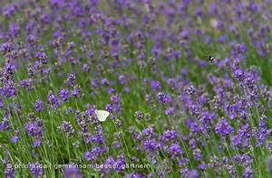 Lavendel Wann Schneiden : wann bl ht lavendel wann bl ht lavendel in deutschland ~ Lizthompson.info Haus und Dekorationen