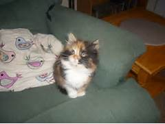 Fluffy Calico Kitten H...Fluffy Dilute Calico Cat