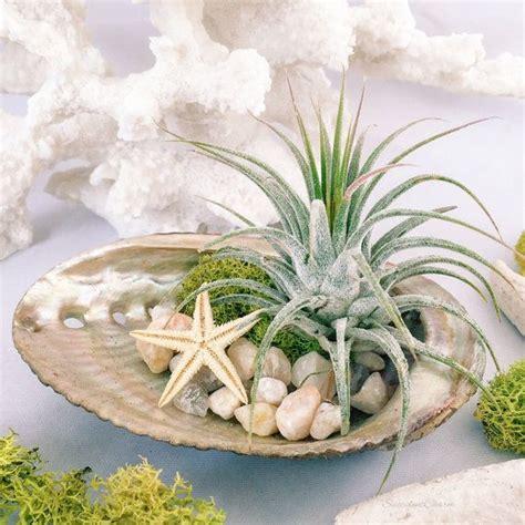 air plant abalone shell terrarium gift beach