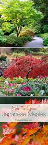 How to Grow Japanese Maples | Gardens, Trees and Eyes ornamental trees japanese gardens